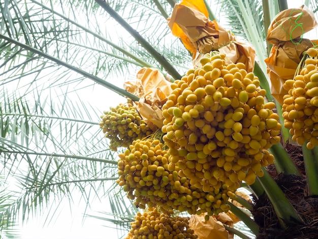 Termine auf palme. bündel gelbe datteln auf dattelpalme.