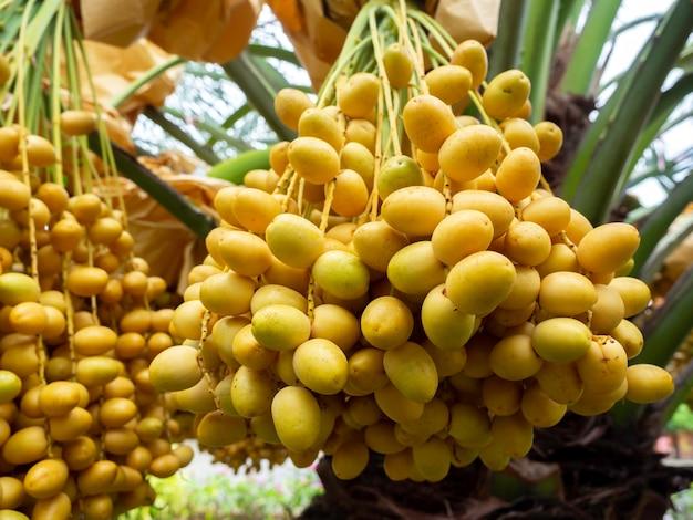 Termine auf palme. nahaufnahme haufen gelber datteln auf dattelpalme.