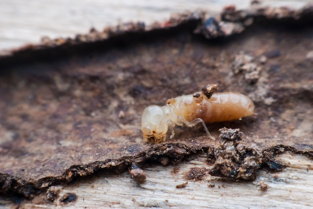 Termitenmakro beim zersetzen von holz