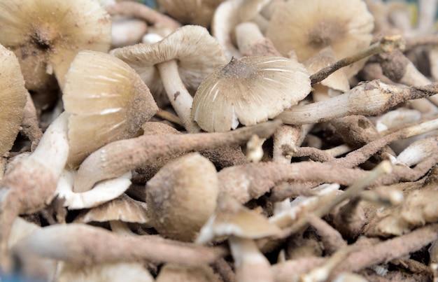 Termitenpilz auf beschaffenheit und hintergrund