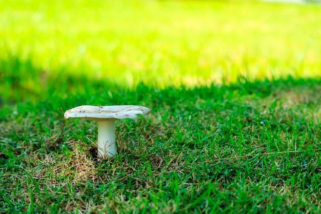 Termitenpilz, der im garten nach regentropfen aufwächst