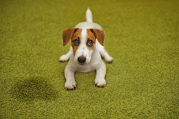 Terrier welpenjack-russell, der auf einem teppich liegt