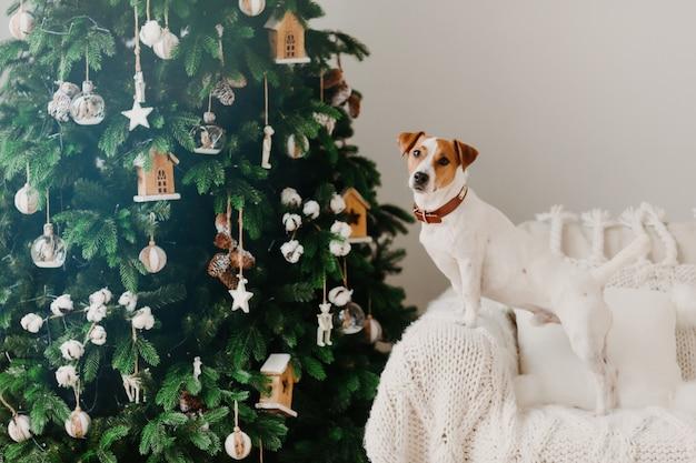 Terrierhund jacks russell wirft nahe verziertem christams-baum auf lehnsessel mit weißem plaid auf.