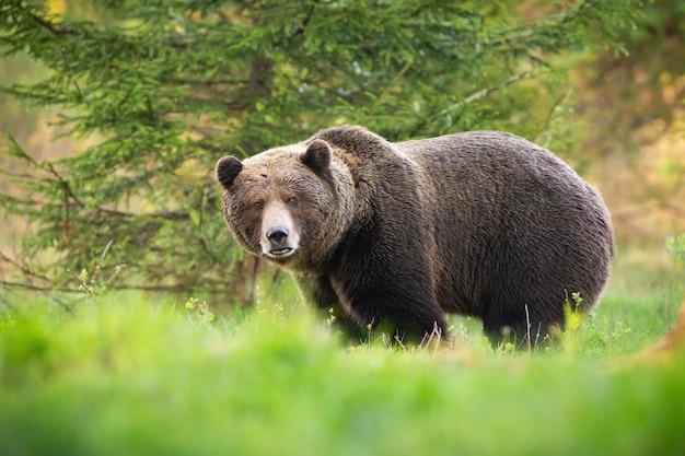 Territorialer braunbärenmann, der auf lichtung mit grünem gras schaut