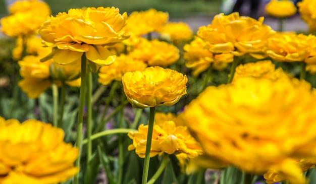 Terry gelbe tulpen auf dem blumenbeet, das konzept von blumen und frühling