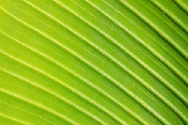Textur des frischen grünen blattes mit venenmakrohintergrund