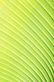 Textur des frischen grünen palmblattes mit venenmakrohintergrund