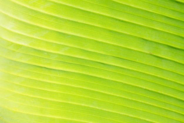 Textur des hellgrünen blattes mit venenmakrohintergrund