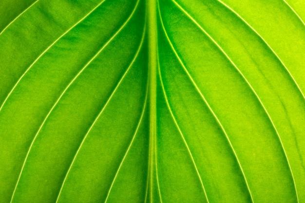 Textur eines grünen blattes als hintergrund. blattstruktur
