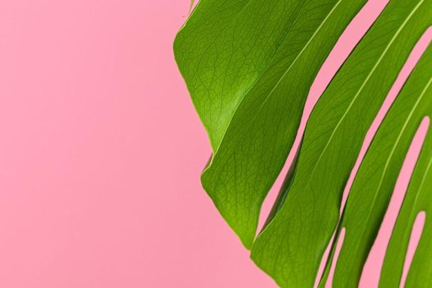 Textur eines monstera-blattes schließen oben auf rosa pastellhintergrund