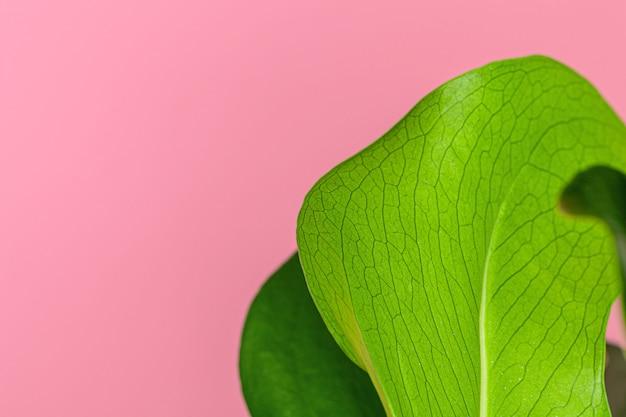 Textur eines monstera-blattes schließen oben auf rosa pastelloberfläche