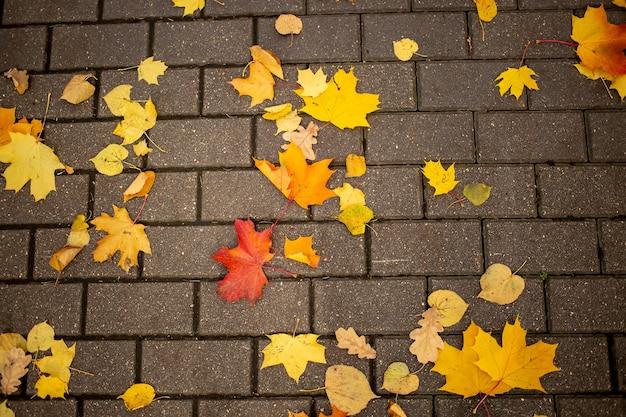 Textur, hintergrund gefallene gelbe herbstahornblätter liegen auf einer kachel eines parkpfades in einem herbstpark an einem sonnigen tag. ansicht von oben.