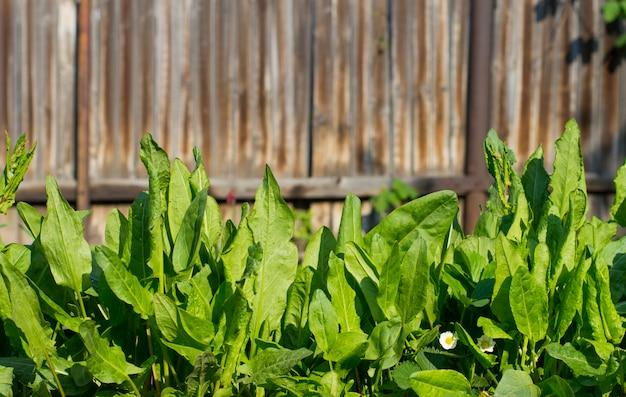 Textur hintergrund grüner sauerampfer