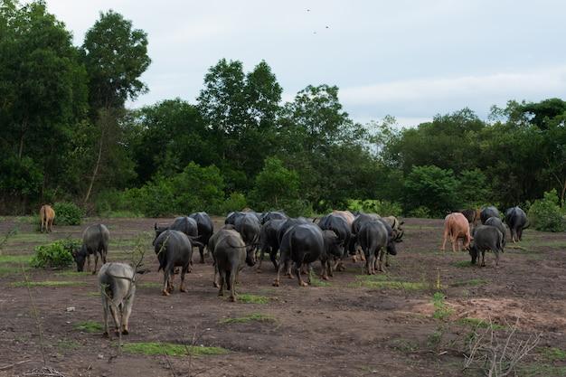 Thai buffalo zu fuß über das feld nach hause gehen