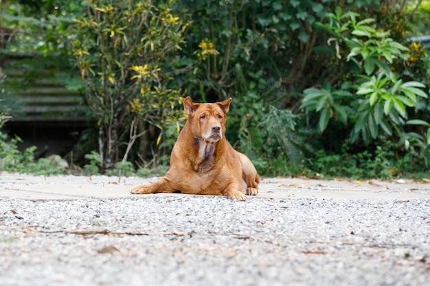 Thai hundeschlafen