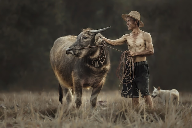 Thailändische bauern stehen mit ihrem büffel auf den reisfeldern.