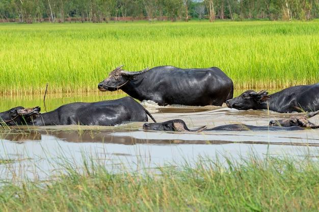 Thailändische büffelgruppenwanderung im wasser