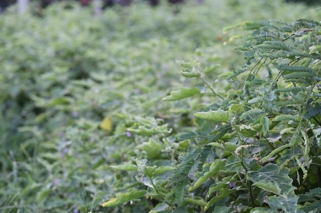 Thailändische gewürze des auberginenbaums im gemüsegarten.