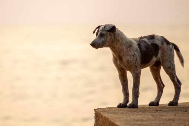 Thailändische hunde spazieren am strand entlang.