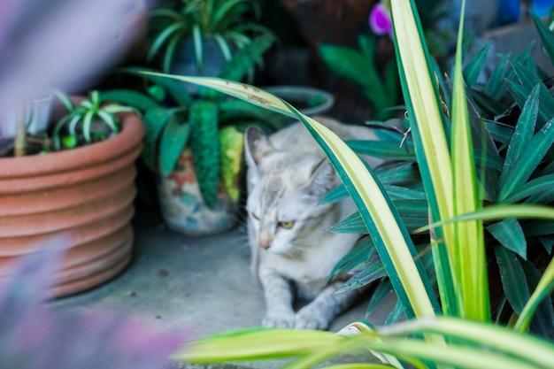 Thailändische katze, braunes tigermuster, im garten.
