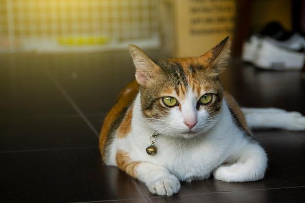 Thailändische katze, die auf blured hintergrund des hintergrundes unter verwendung der tapete oder des hintergrundes nett ist. tier