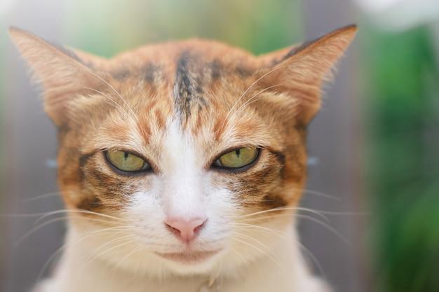 Thailändische katze, die auf dem feld auf unscharfem baumhintergrund spielt