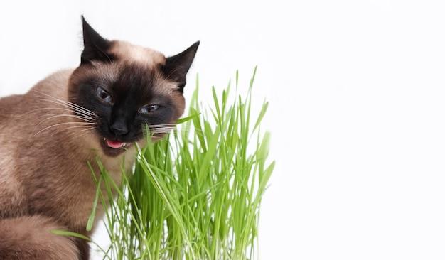Thailändische katze frisst gras. gras für katzenfutter, tierpflege.