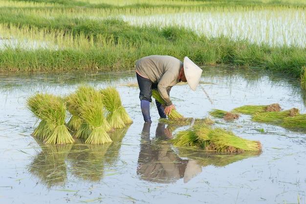 Thailändische landwirttransplantations-reissämlinge im reisfeldackerland