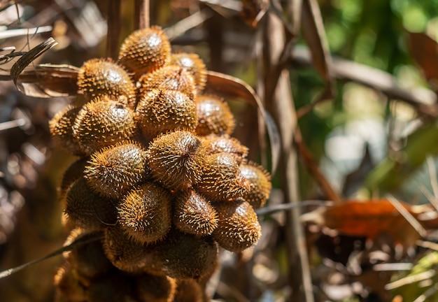 Thailändische litschi vom baum auf unscharfer natur