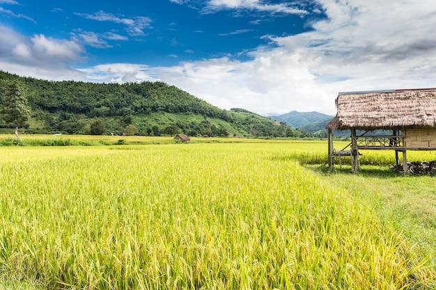 Thailändische reisfarm