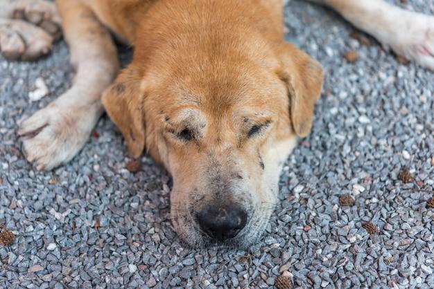 Thailändischer brauner streunender hund, der mit einsamem und fräulein schläft