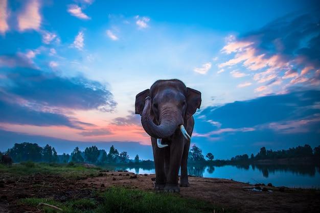 Thailändischer elefant