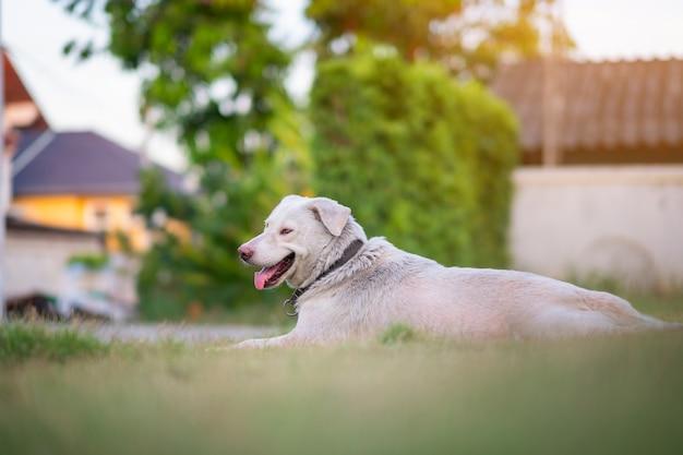 Thailändischer hund, der auf dem grünen gras wartet auf etwas liegt