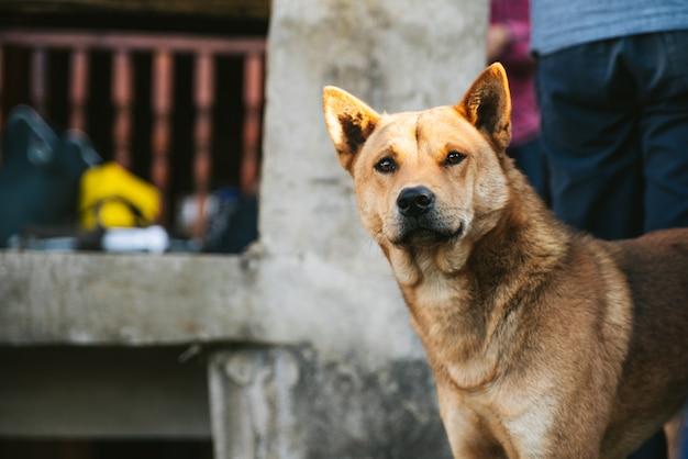Thailändischer hund, der entlang der nahe gelegenen ansicht im akha-dorf von maejantai auf dem hügel in chiangmai, thailand anstarrt.