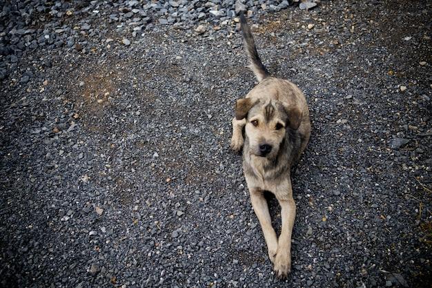 Thailändischer hund, tier einsam