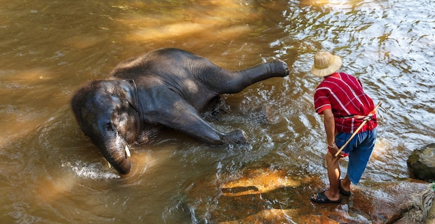Thailändischer junger elefant, der ein bad mit mahout im maesa-elefantenlager, chiang mai, thailand nimmt