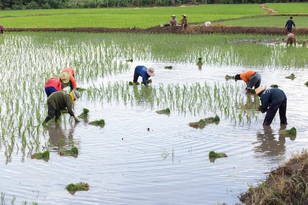 Thailändischer landwirt auf dem reisgebiet