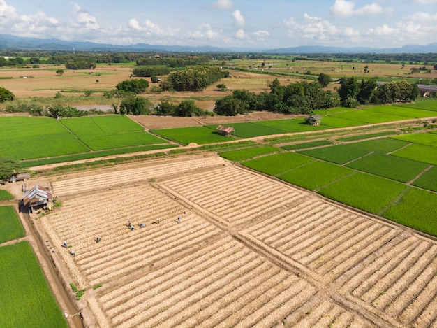 Thailändischer landwirt, der an der pflänzchen- oder getreideplantage arbeitet