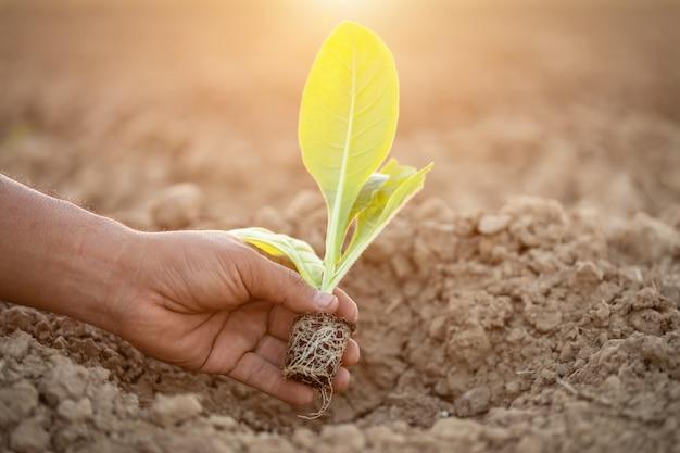 Thailändischer landwirt, der die grüne tabakpflanze pflanzt