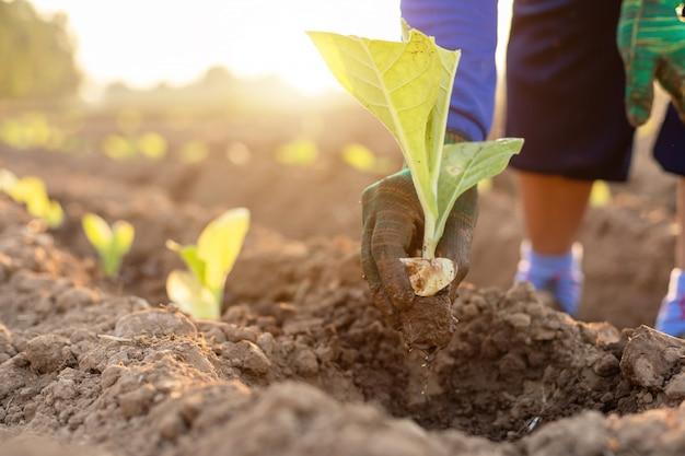 Thailändischer landwirt, der grünen tabak auf dem gebiet pflanzt