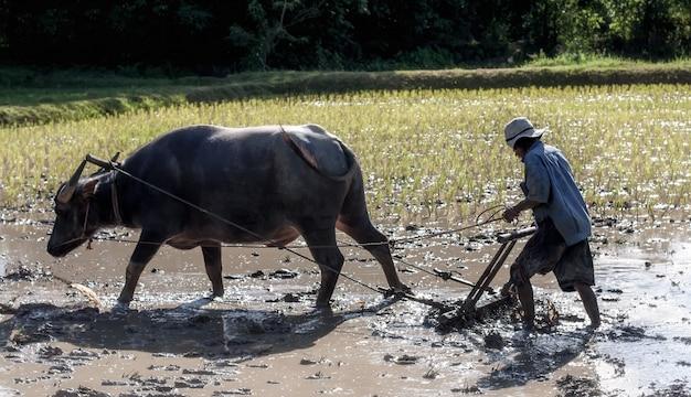 Thailändischer landwirt, der mit seinem büffel arbeitet