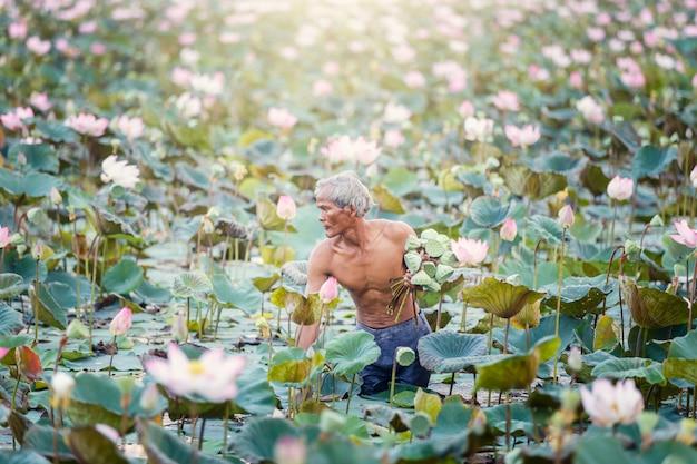 Thailändischer landwirt des alten mannes wachsen lotos in der jahreszeit.