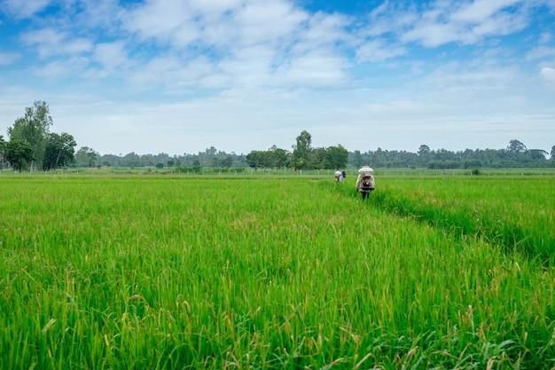 Thailändischer landwirt zu herbiziden oder chemischen düngemitteln ausrüstung auf dem grünen reisanbau der felder