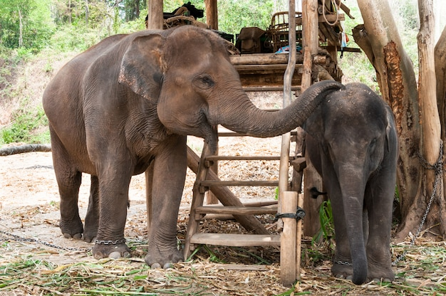 Thailändischer mutterelefant und kalb thailand, asiatischer elefant