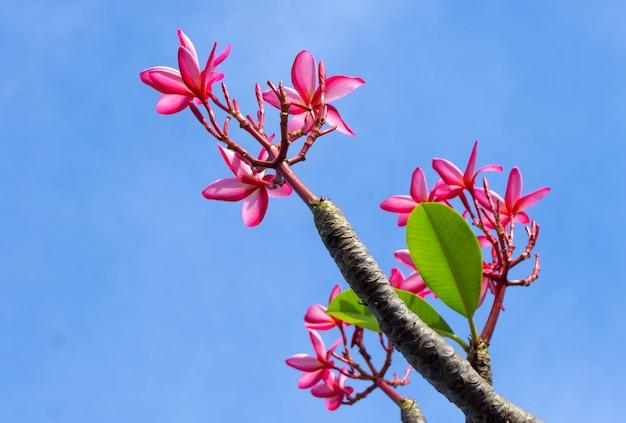 Thailändischer rosa plumeria blüht auf dem blauen himmel