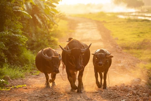 Thailändischer schwarzer büffel, der auf die straße an der landschaft in der abendzeit geht