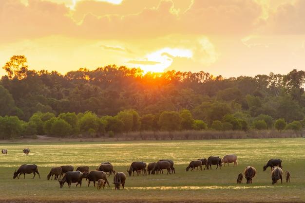 Thailändischer sumpfbüffel im torfsumpf um lagune mit sonnenunterganghintergrund