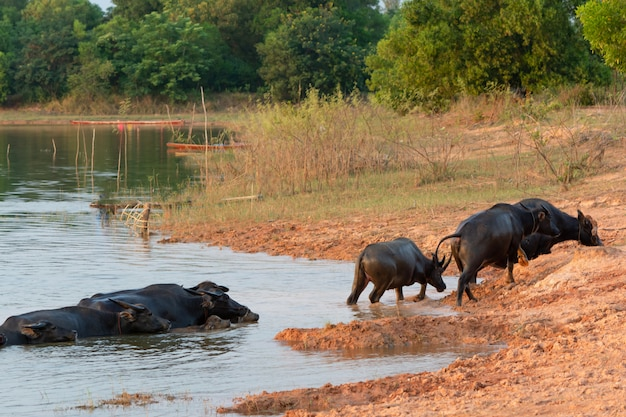 Thailändischer sumpfbüffel im torfsumpf um lagune