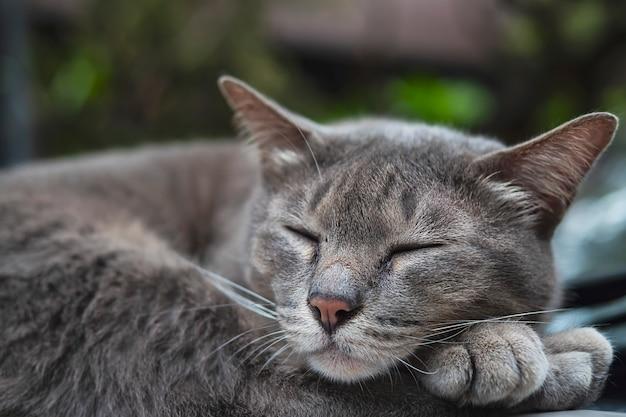 Thailändisches haupthaustier der reizenden schlafenden katze halten auf einem auto, haustier ein schläfchen