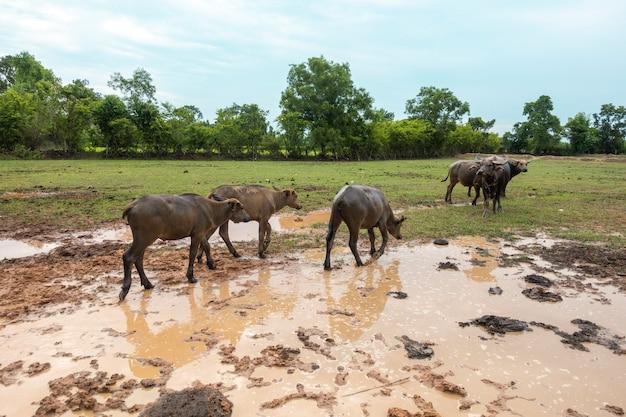 Thailand-büffel auf dem reisgebiet